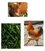 Cow-chook-grass