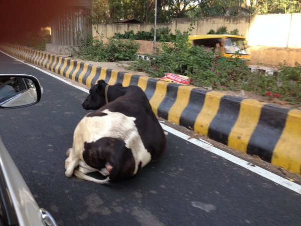 Cow on highway in Bangalore