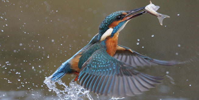 Kingfisher take action