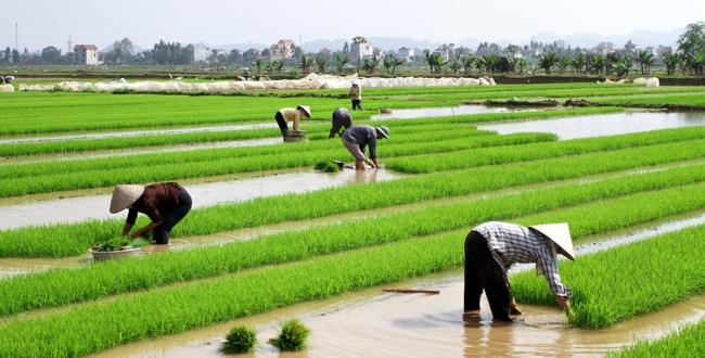 vietnam-rice-paddies
